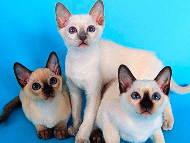 Самца сиамской кошки отличаются терпением и хорошо ладят с детьми