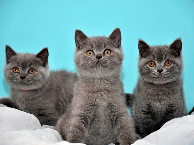 Выбор пола британского котенка зависит от целей его покупки