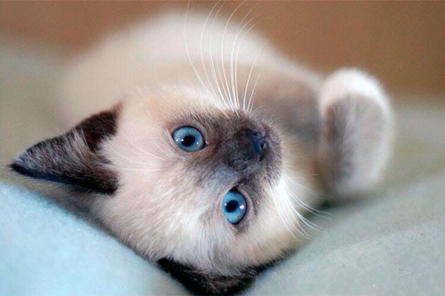 При выборе котенка сиамской кошки, обращайте внимание на его активность и внешний вид