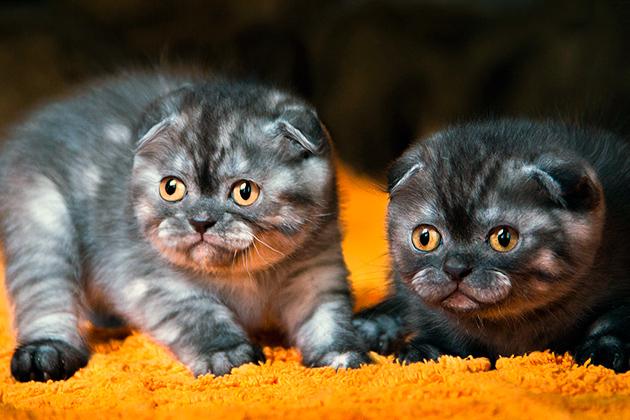 Британские кошки обладают тонкой душевной организацией, а также запредельное самолюбие