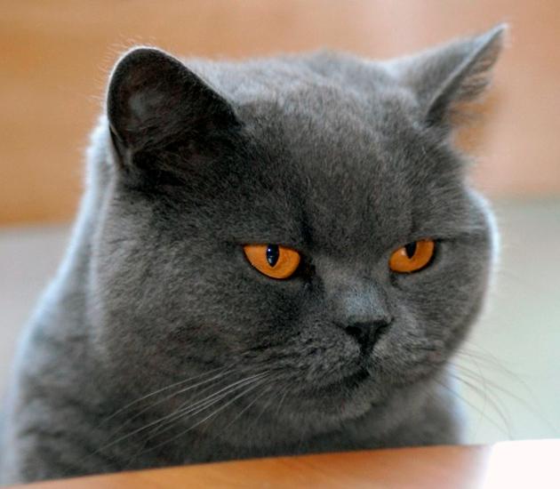 Британские кошки прекрасно приспособлены для жизни с человеком
