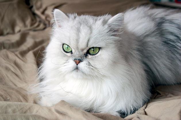 Характер кошек породы Персидская