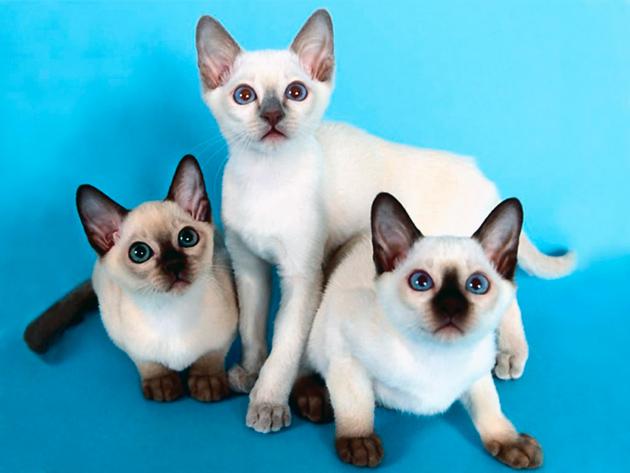 Сиамские кошки более ласковые, но и более эмоциональные